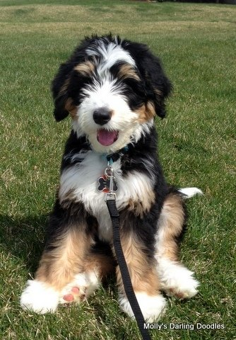 Tri colored Bernedoodle puppy sitting pretty