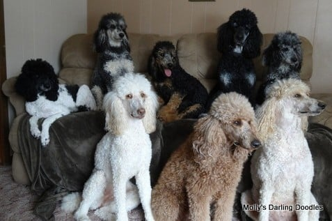 Standard Poodles in a rainbow of colors/patterns