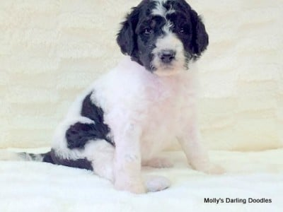 Black/white parti Golden Mountain Doodle puppy