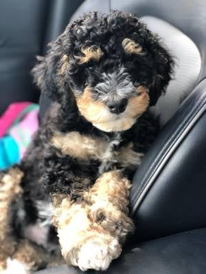 Golden Mountain Doodle puppy traveling